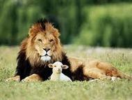 Lam ligger med løve
